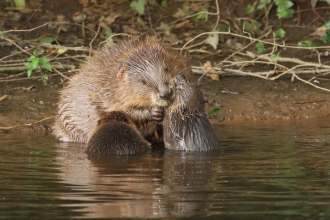 Two beaver kits and mother on the River Otter, Devon