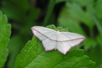 Blood-vein moth at Dunsdon nature reserve