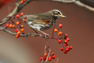 Redwing perched on a branch with berries