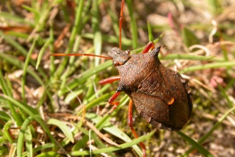 Spiked Shield Bug