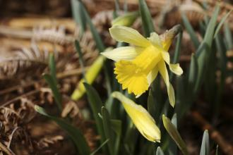 Wild daffodils growing in the woodland at Dunsford nature reserve