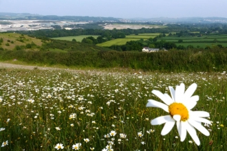 Daisy field at Teigngrace Meadow