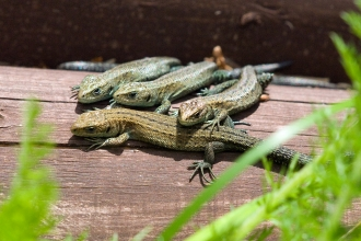 Four common lizards bask on a log
