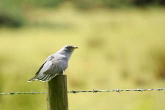 Cuckoo sat on a barbed wire fence