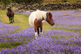 Ponies in the bluebells at Emsworthy