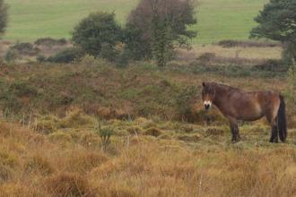 Ponies on heathland at Venn Ottery nature reserve