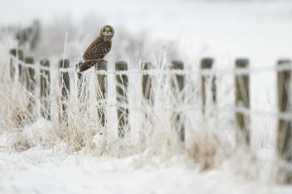 Short-eared owl sat on a post in the snow