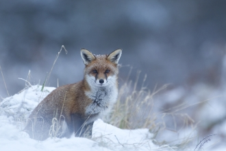 Young fox in the snow