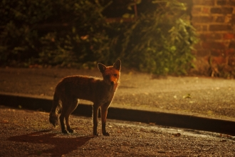 Red fox on the road in a city