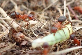 Narrow-headed ants (formica exsecta) on the ground