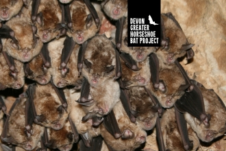 Greater horseshoe bats hanging in a cave