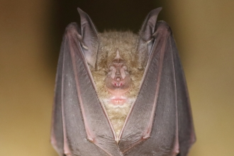 Greater horseshoe bat hanging upside down in a cave