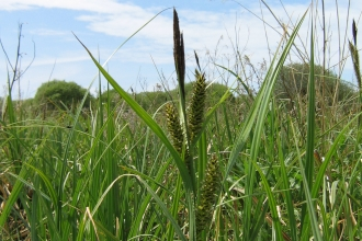 Sedges at Swanpool marsh nature reserve