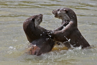 Two otters in the river