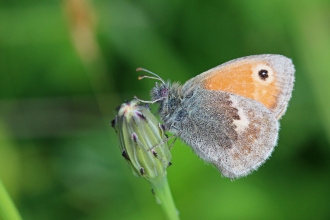 Small heath
