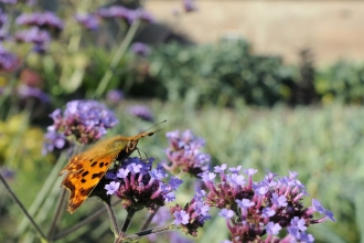 Comma butterfly on verbena flowers