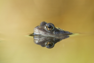 Common frog in garden pond in spring