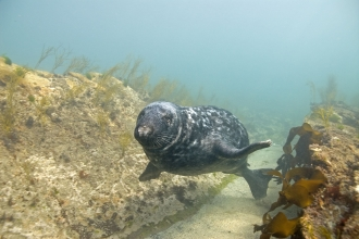 Grey seal swimming through gully