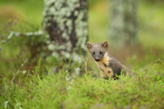 A pine marten peaks through the grass