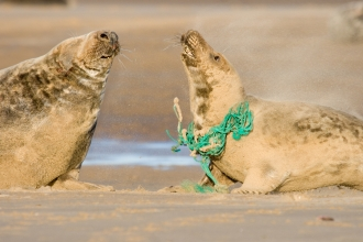 Grey seal with plastic rope around neck