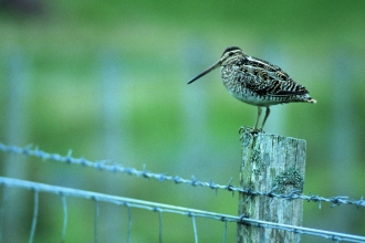 Snipe sitting on wire fence