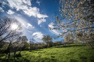 Cherry trees at Ludwell Valley Park
