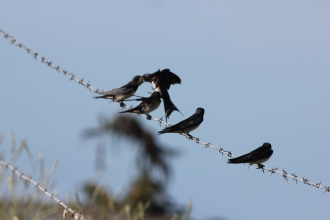 Swallows on barbed wire
