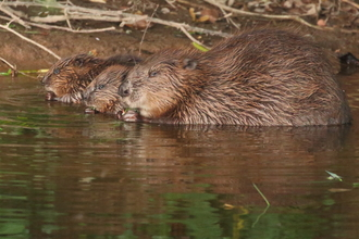 beaver with kits