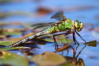 Dragonfly lays its eggs in water