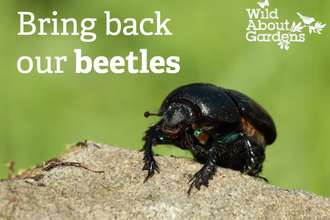 Dung beetle Wild About Gardens