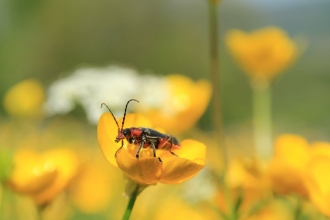 Soldier Beetle on a buttercup