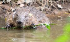 Beaver eating willow in the River Otter