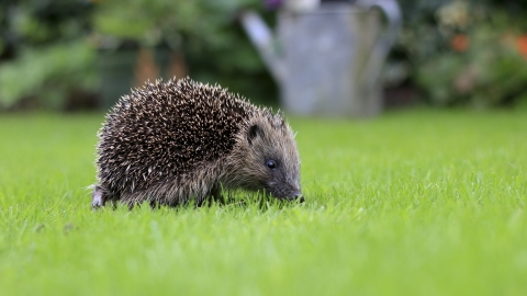 Hedgehog (©Tom Marshall)