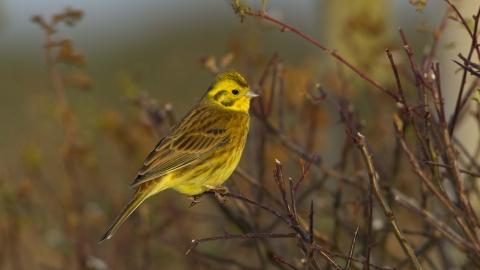 yellowhammer devon wildlife trust