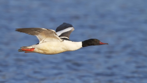 Goosander in flight