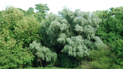 White Willow