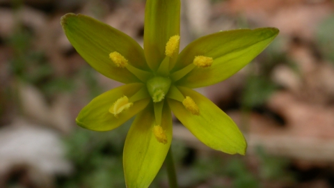 Yellow Star-of-Bethlehem