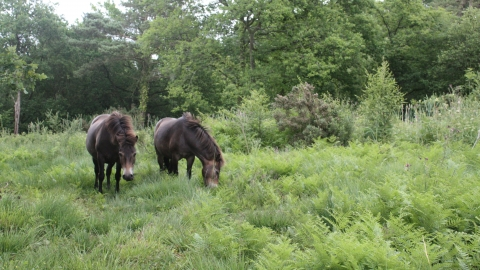 Ponies amongst bracken at Lickham Common nature reserve