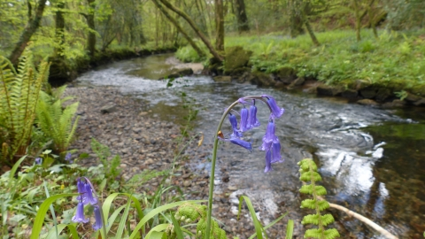 River through New England Wood with bluebells