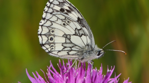 Black and white butterfly sits on top of purple flower
