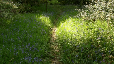Mill Bottom, path through bluebells
