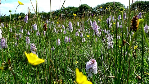 A field of grasses, buttercups and orchids at Stowford Moor