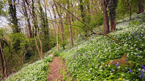 Bluebells and ramsons at Scannicluft copse