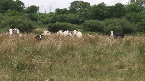 Cows grazing at Stapleton Mire