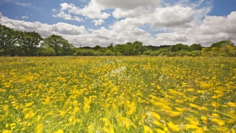 Field full of meadow buttercups moving in the breeze