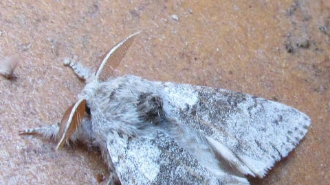 Braunton Moths