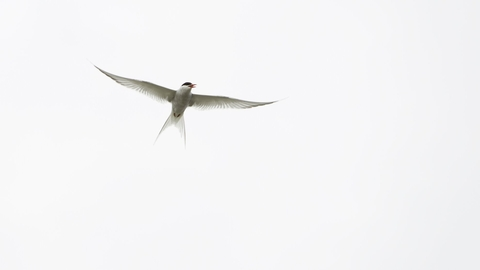 Arctic Tern (Sterna paradisaea) against white sky