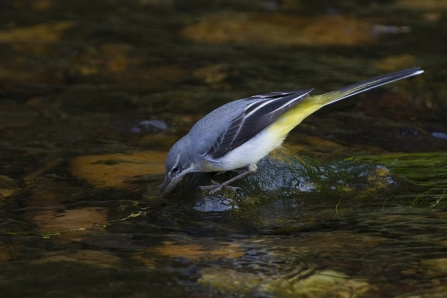 Grey wagtail drinking from a river