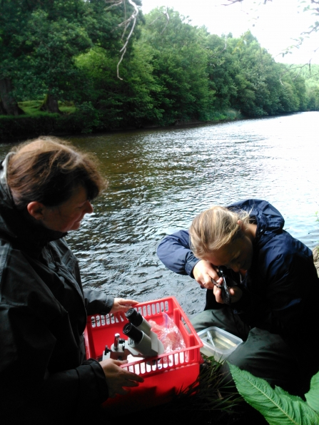Surveying freshwater pearl mussels by the river