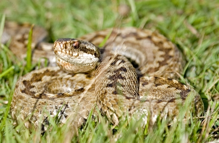 Adder basking in the sunlight